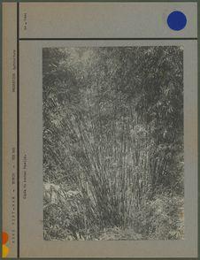 Cépée de bambou femelle