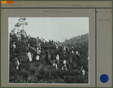Récolte du thé dans une plantation