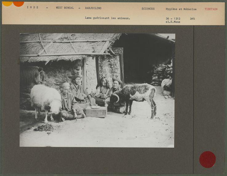 Lama guérissant les animaux
