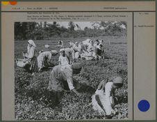 Cueillette des feuilles de thé