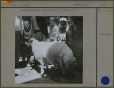 Le mouton des Qasqai