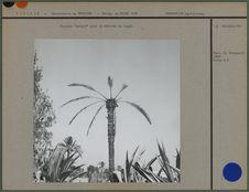 """Palmier """"saigné"""" pour la récolte du lagmi"""