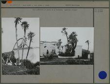 Palmiers à la Bouzareah