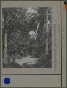 Importance de l'arboriculture dans les jardins de l'oasis d'El Goléa