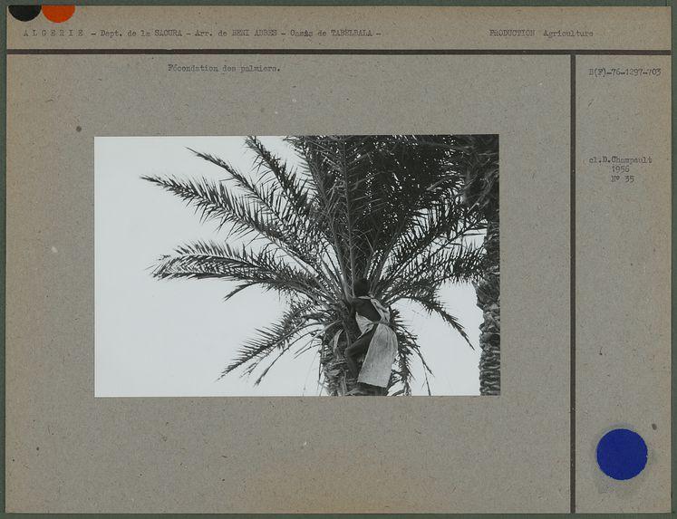 Fécondation des palmiers
