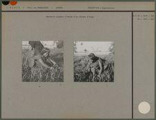 Hartania coupant l'herbe d'un champs d'orge
