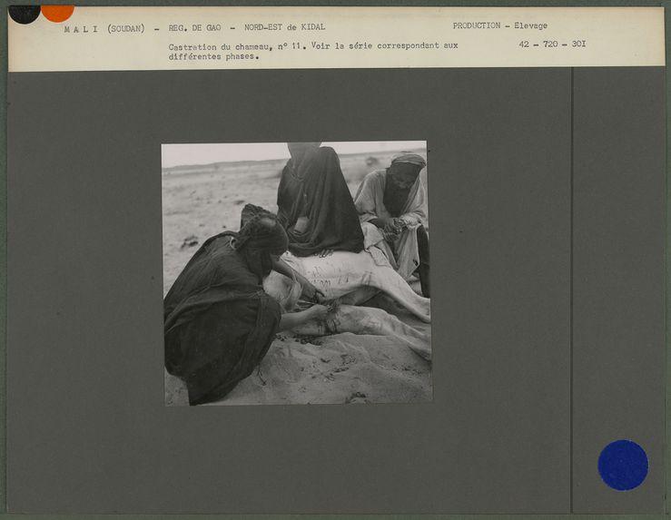 Castration du chameau