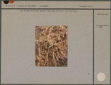 Les herbes épineuses wazadj