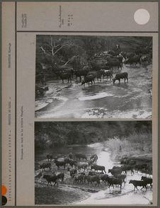 Troupeau au bord de la rivière Pongola