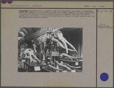 Tetrabelodon Angustidens Cuvier