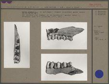 Cervus elaphus L.
