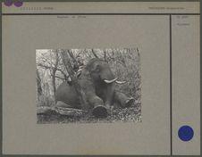 Eléphant de l'Inde
