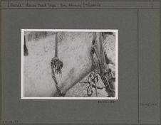 Défense de sanglier attachée au collier d'un cheval contre le mauvais oeil