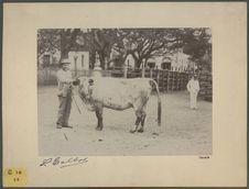 Sans titre [un homme présentant un taureau]