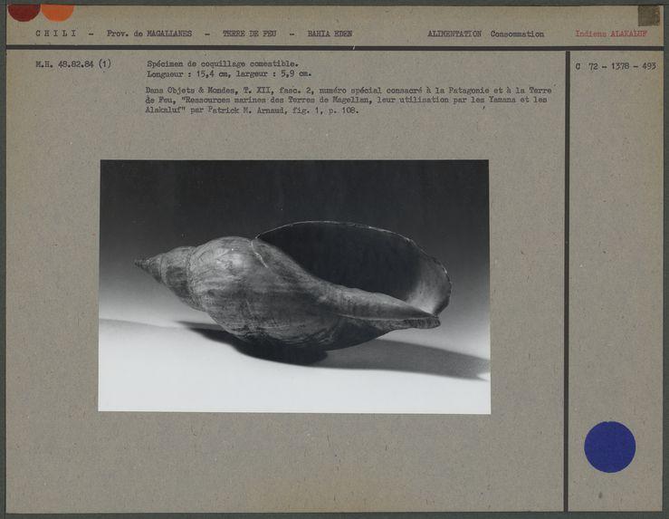 Spécimen de coquillage comestible