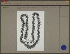 Très grand collier de dents de coati et de carnassiers