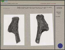 Fragment de perche de renne gravé d'un arrière train