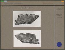 Fragment d'omoplate avec gravure de cheval