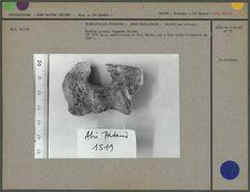 Humérus gauche, fragment distal, 20000 ans