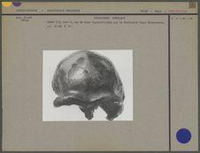Crâne du Sinanthropus Pekinensis III, vue de face