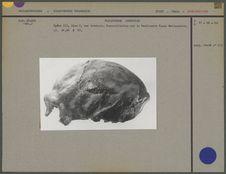 Crâne du Sinanthropus Pekinensis III, vue latérale