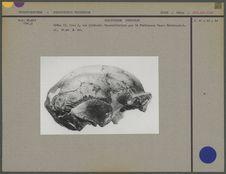 Crâne du Sinanthropus Pekinensis II, vue de face