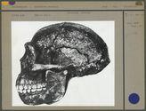 Crâne du Sinanthropus Pekinensis, norma latéralis