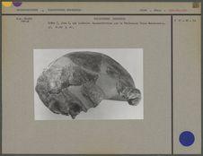Crâne du Sinanthropus Pekinensis I, vue latérale