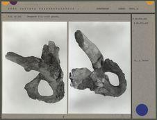 Fragment d'os coxal gauche