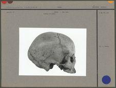 Crâne d'Indien Orijone