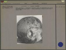 Crâne néolithique