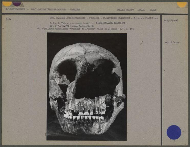 Crâne de Tabun, vue norma facialis