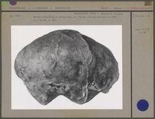 Calvarium n. occipitalis