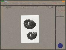 Fossiles perforés (céphalopodes)