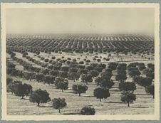 Tunisie. Le Sahel. La forêt d'oliviers