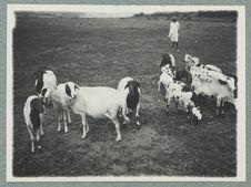 Sans titre [élevage de chèvres]