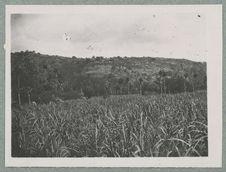 Plantation de cannes et pandanus