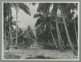 Plantation de cocotiers à Fehaaroa