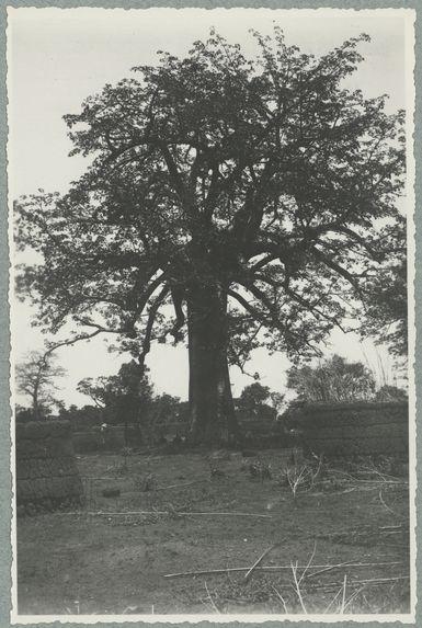 Route de Sameso à Kobala. Un  baobab au milieu des ruines