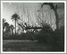 Maroc [arbres et palmiers]