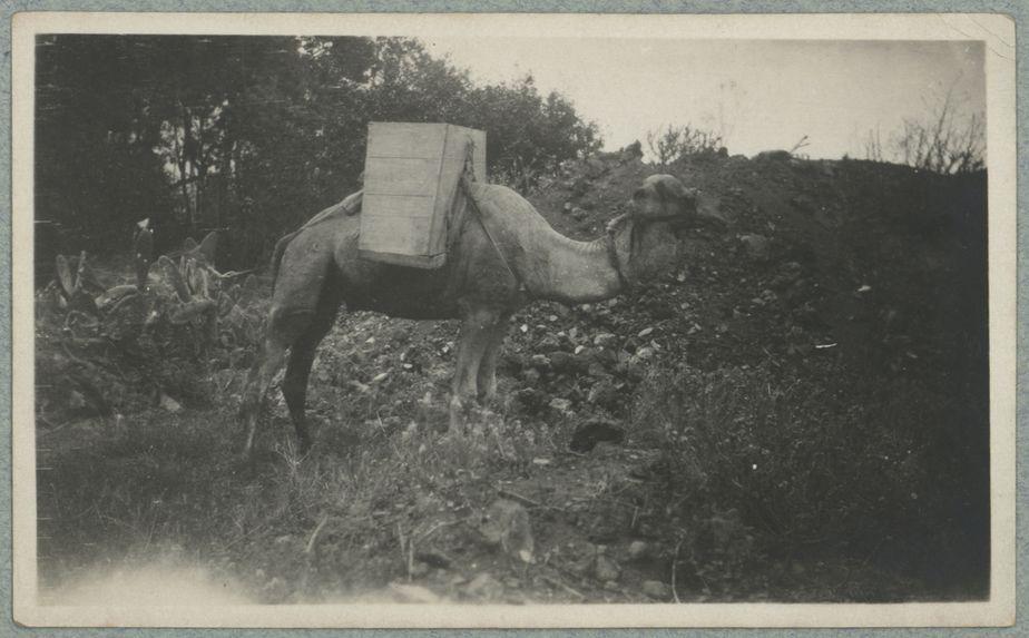 Dromadaire pour le transport des pierres et déblais à Orotawa