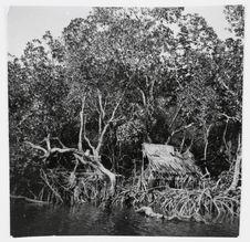 Sépik Murik. Les mangroves sur le lagon