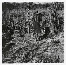 Ceraio. mBeber met des pierres sur son Djepa dans le grand champ d'ignames