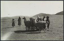 Sans titre [troupeau de lamas]