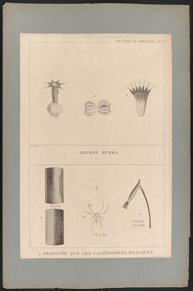 Aseroe Rubra - Araignée que les Calédoniens mangent