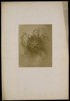 Astrophyton Verrucosum.