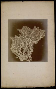 [N°6- Stylaster Flabelliformis, Milne Edward & J. Haine- des mers de l'Inde...