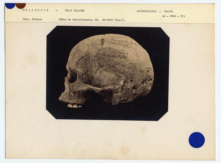 Mélanésie. Nouvelle-Zélande : crâne de Néo-Zélandais, n° 1146. Don de feu Prüner-Bey