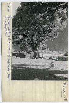 Pisonay, arbre de la montana transplanté par les Espagnols