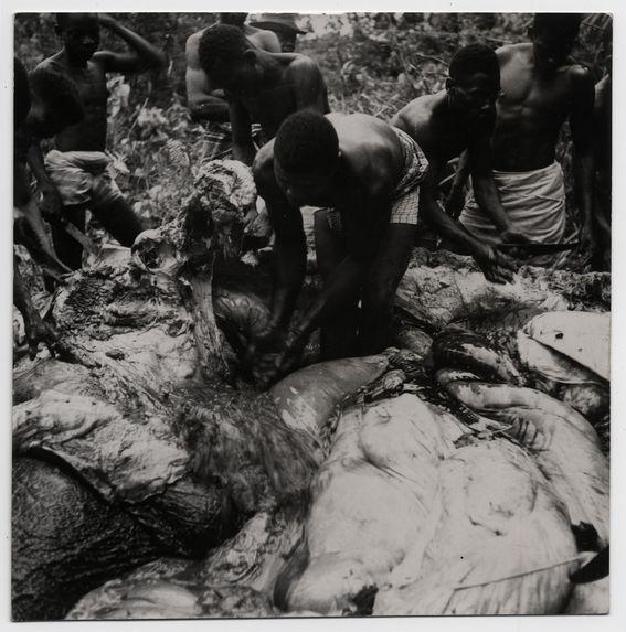Ogoué, dépeçage de l'éléphant par les pagaïeurs Mokandé